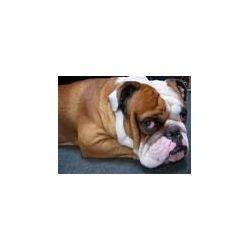 bulldog32